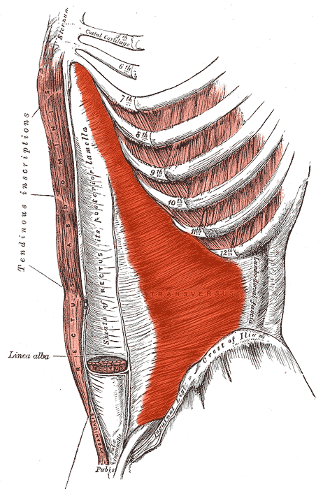 Transverse Abdominis Muscle (Abs Anatomy)